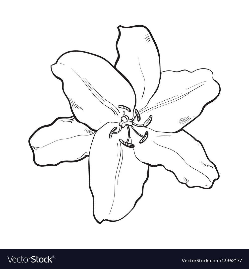 Single hand drawn white lily flower top view vector image mightylinksfo