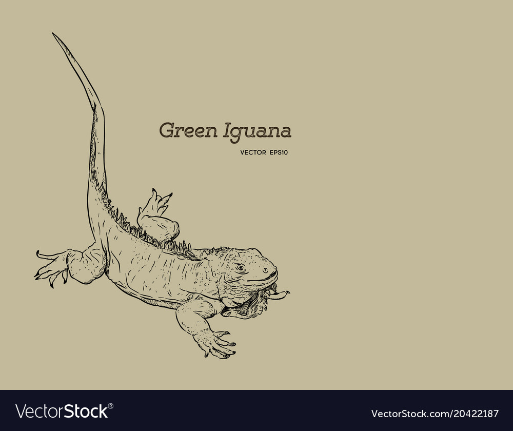 Green iguana lizard hand draw sketch