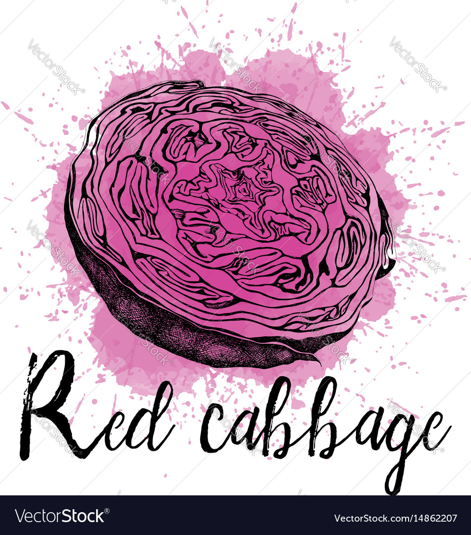 A red cabbage in hand drawn