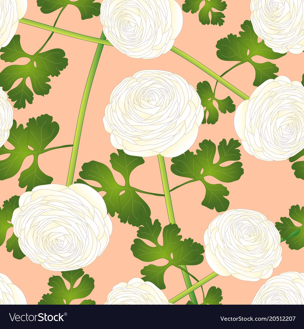 White Ranunculus Flower On Salmon Pink Background Vector Image