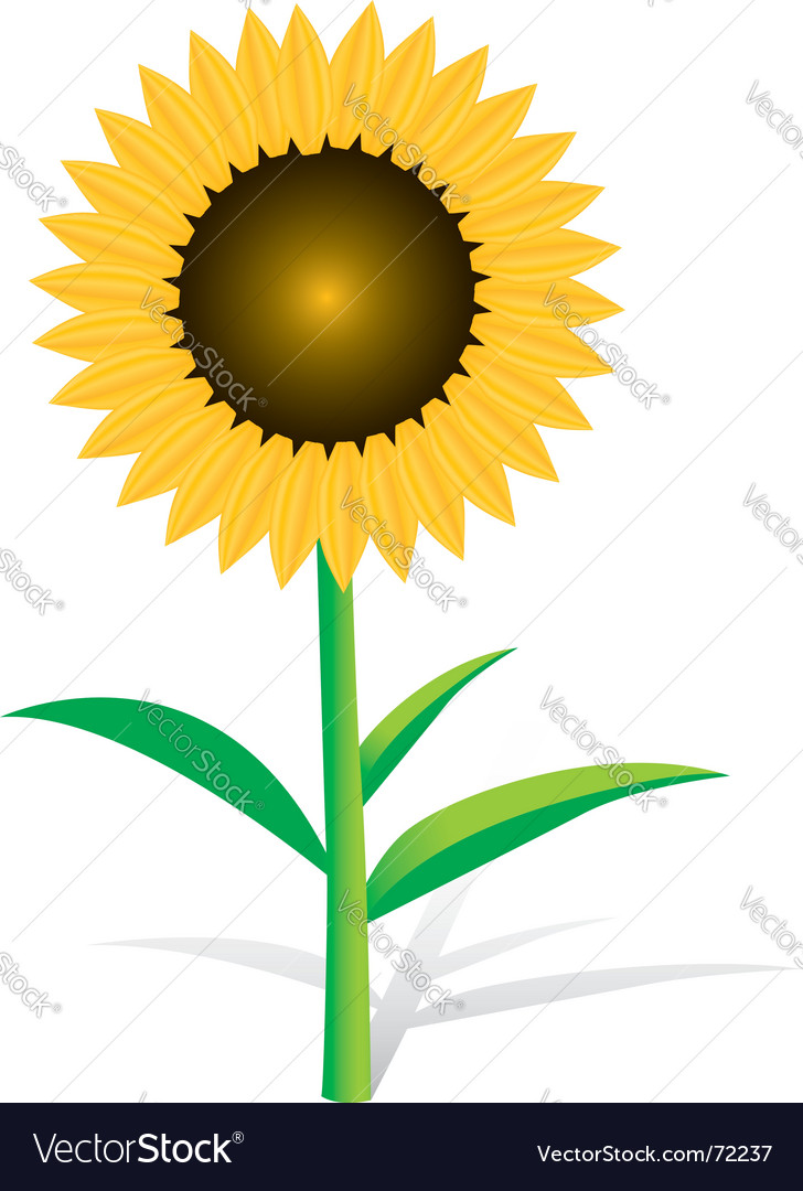 sunflower royalty free vector image vectorstock rh vectorstock com sunflower vector image sunflower vector silhouette