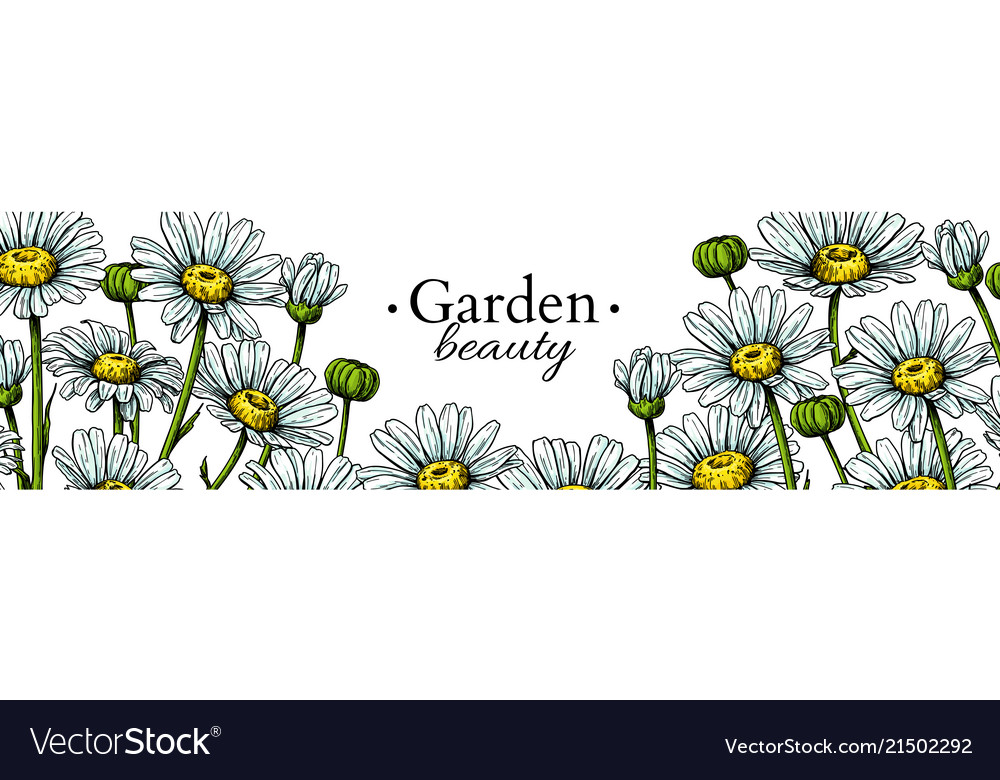 Daisy flower banner drawing hand drawn