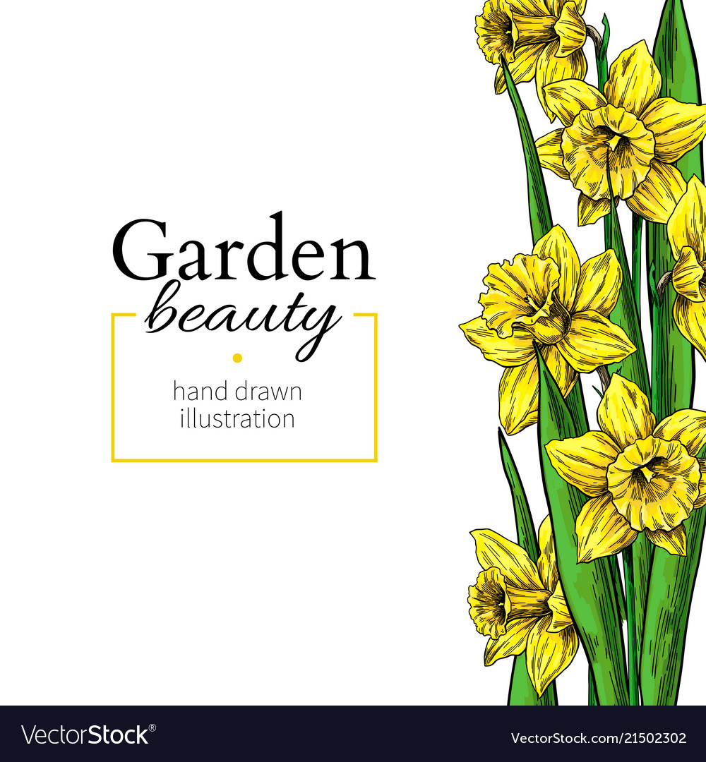 Daffodil flower and leaves border drawing