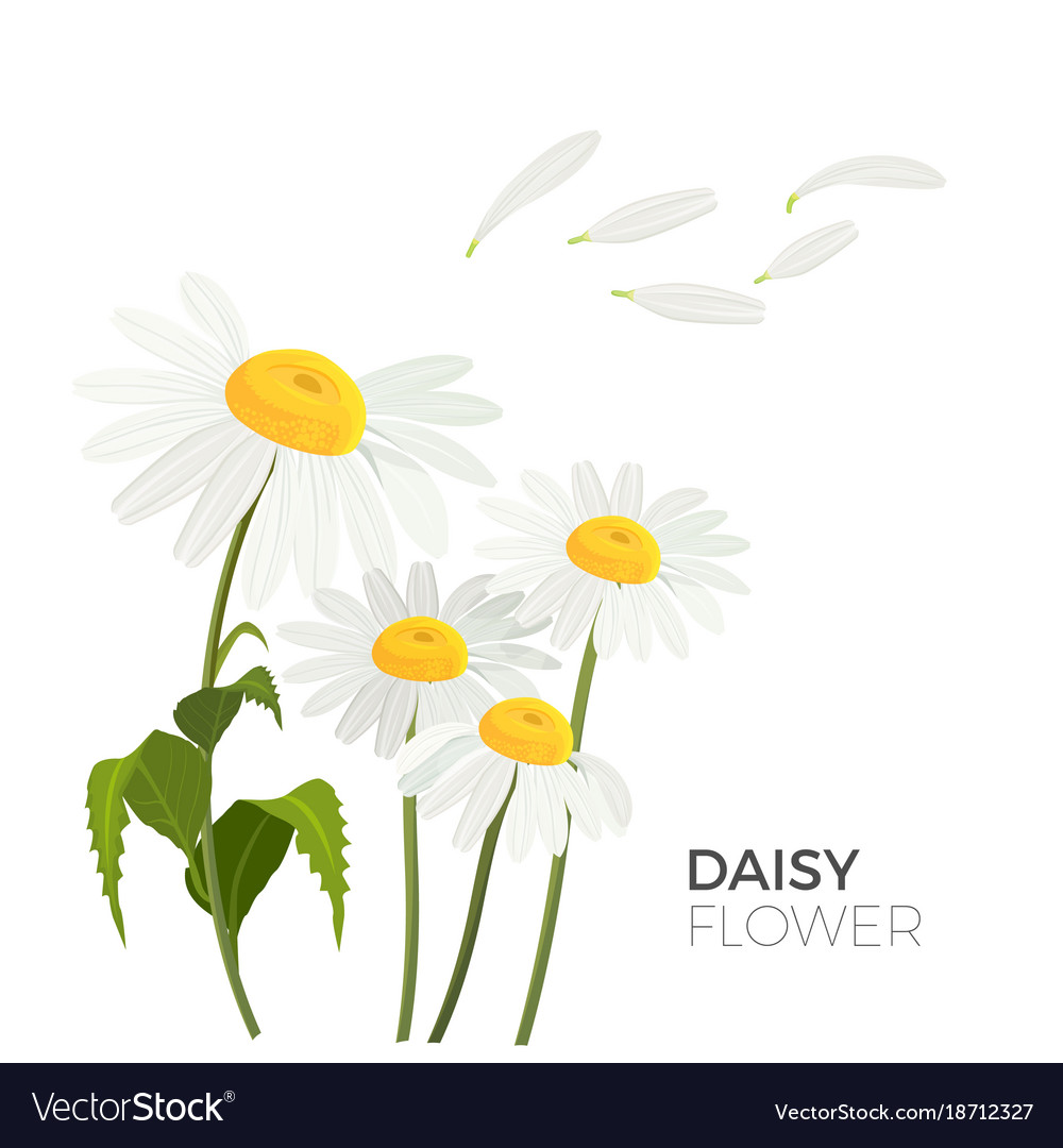 Daisy flowers with white petals and yellow middle vector image izmirmasajfo