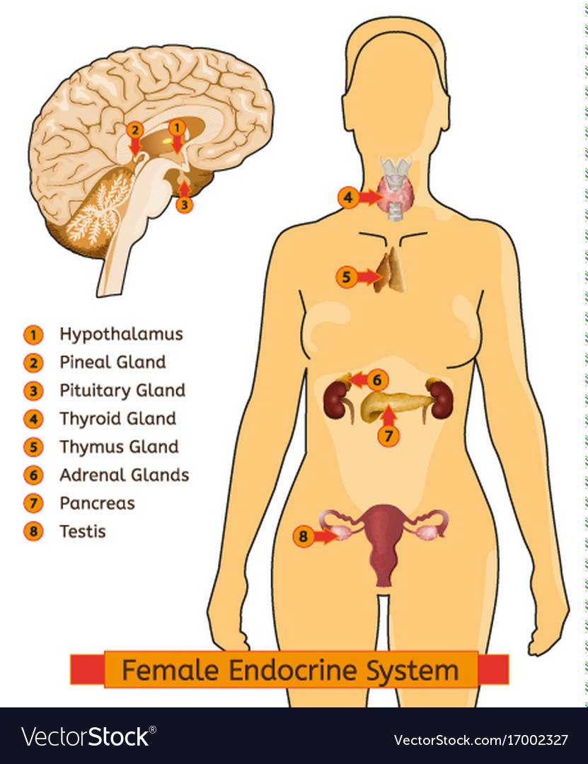 Endocrine System Woman Royalty Free Vector Image