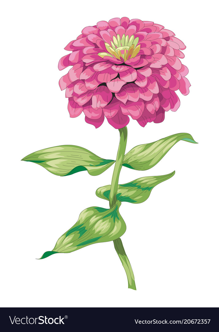 Beautiful Pink Zinnia Flower Isolated On White Vector Image