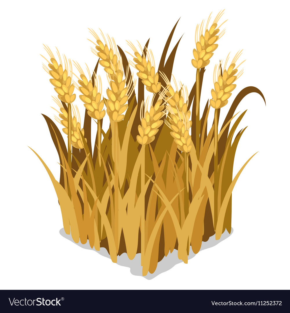 Planting and cultivation of wheat isolated