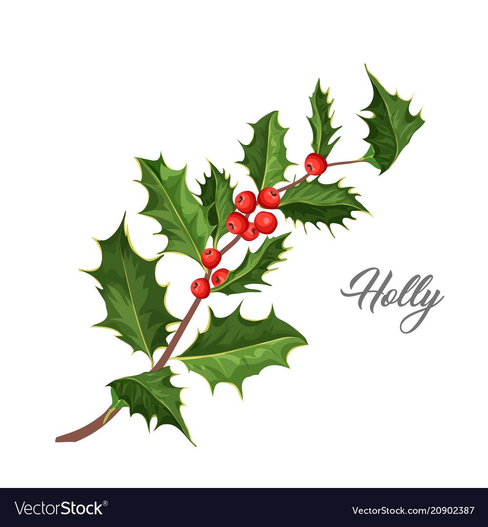 Christmas holly mistletoe ilex leaves vector image