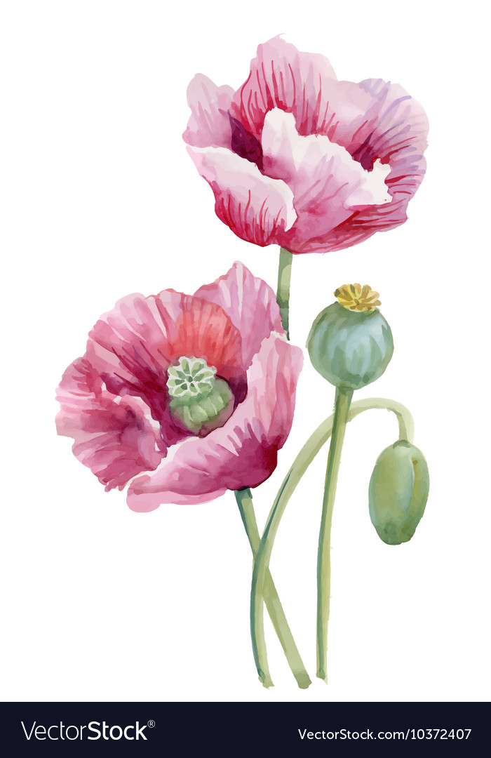 Watercolor blooming poppy flowers royalty free vector image watercolor blooming poppy flowers vector image mightylinksfo