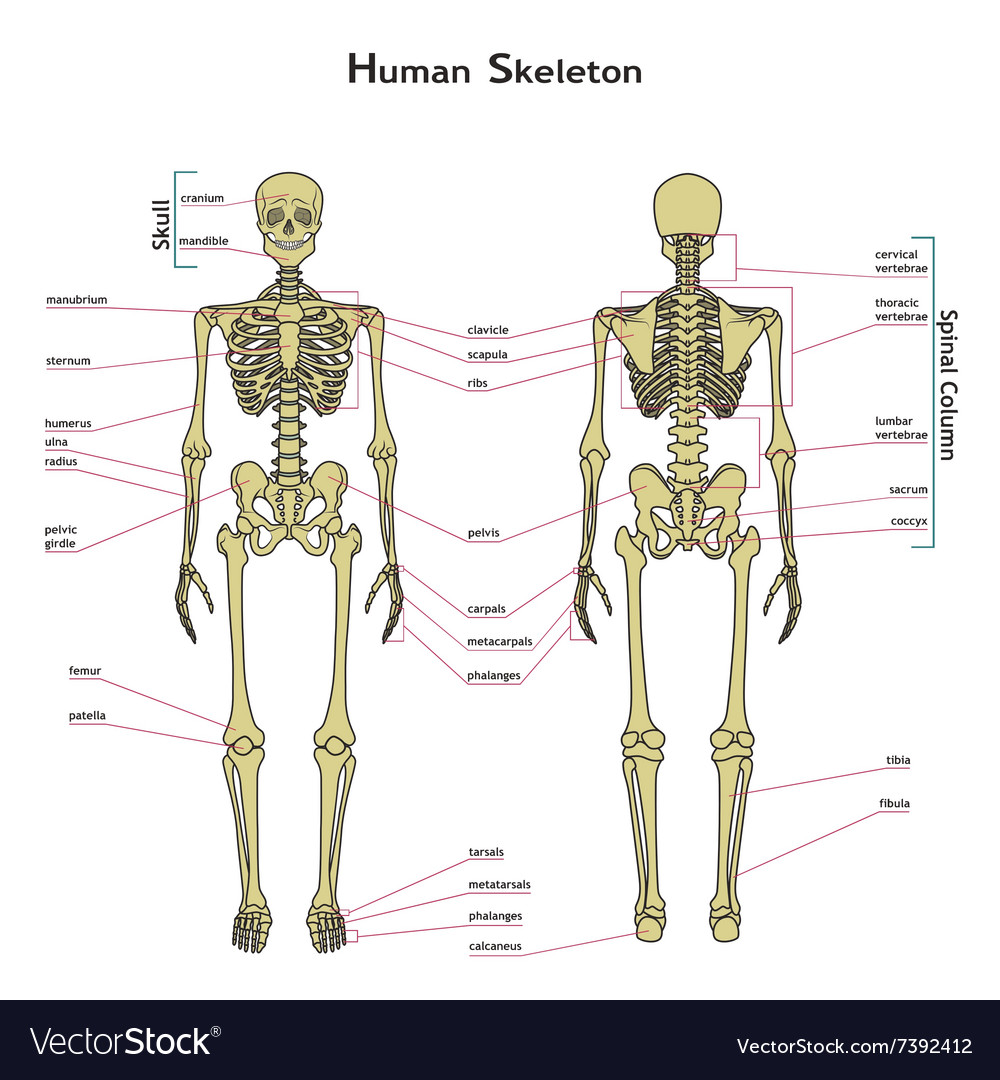 Human Skeleton Front And Rear View With Royalty Free Vector