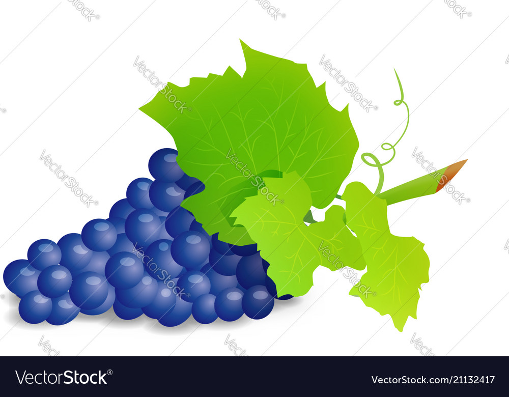 Grape branch with blue grapes realistic