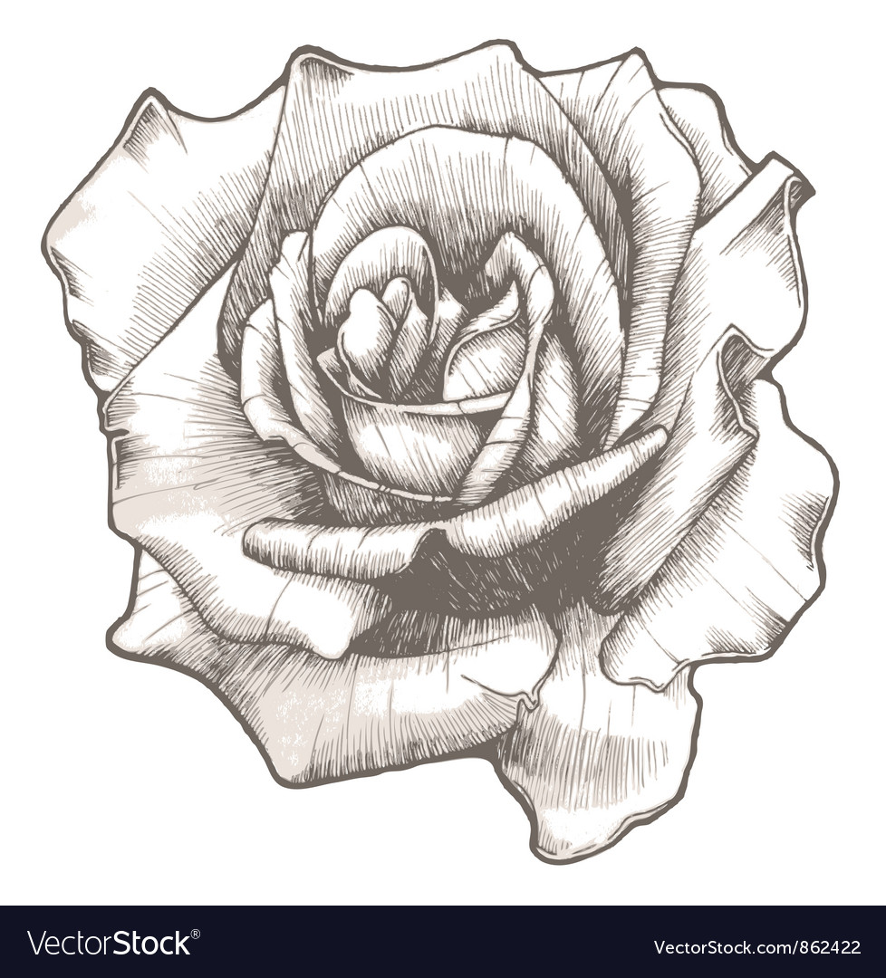 Hand drawn rose Royalty Free Vector Image VectorStock
