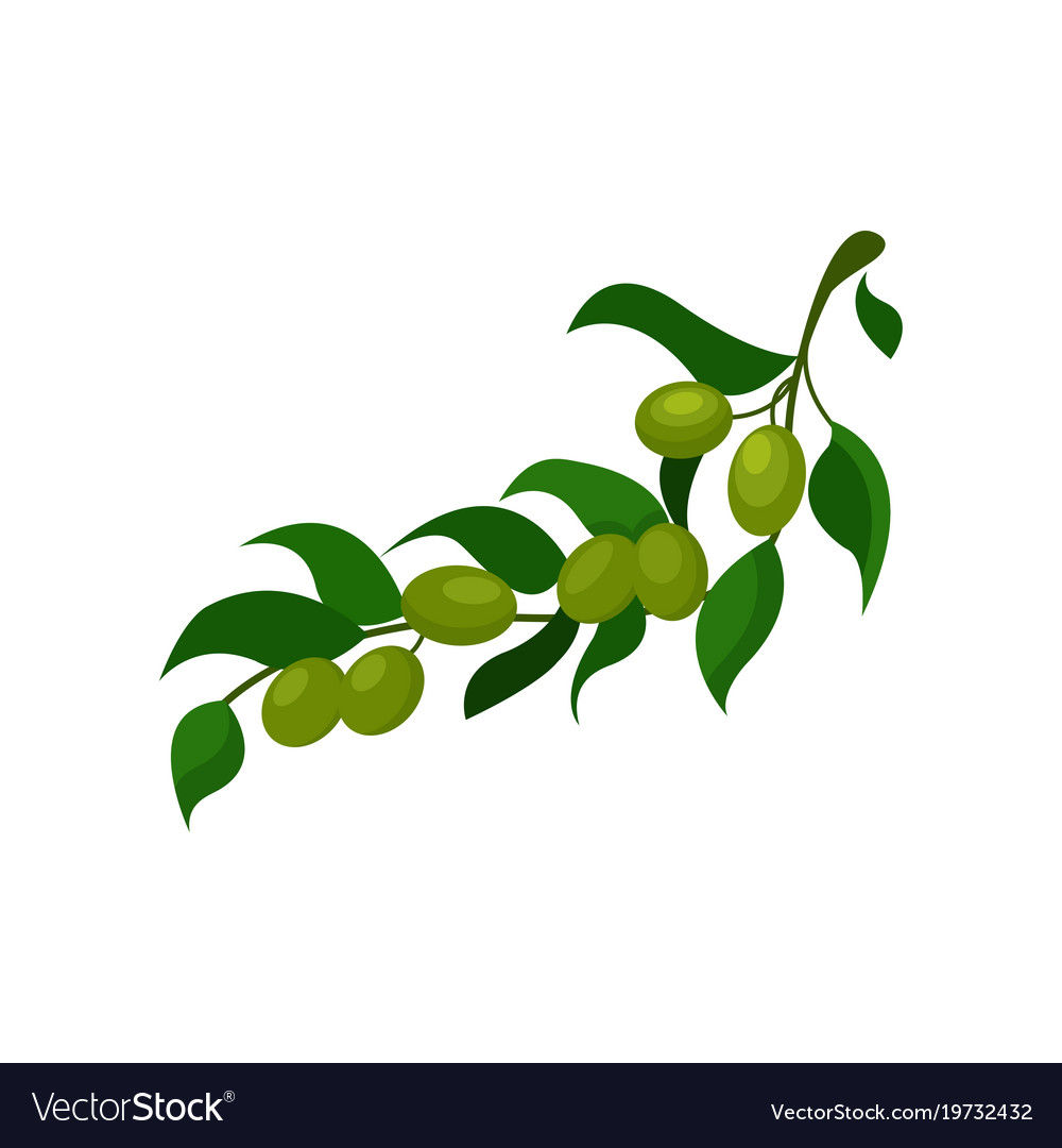 Olive Branch With Leaves Cartoon Royalty Free Vector Image