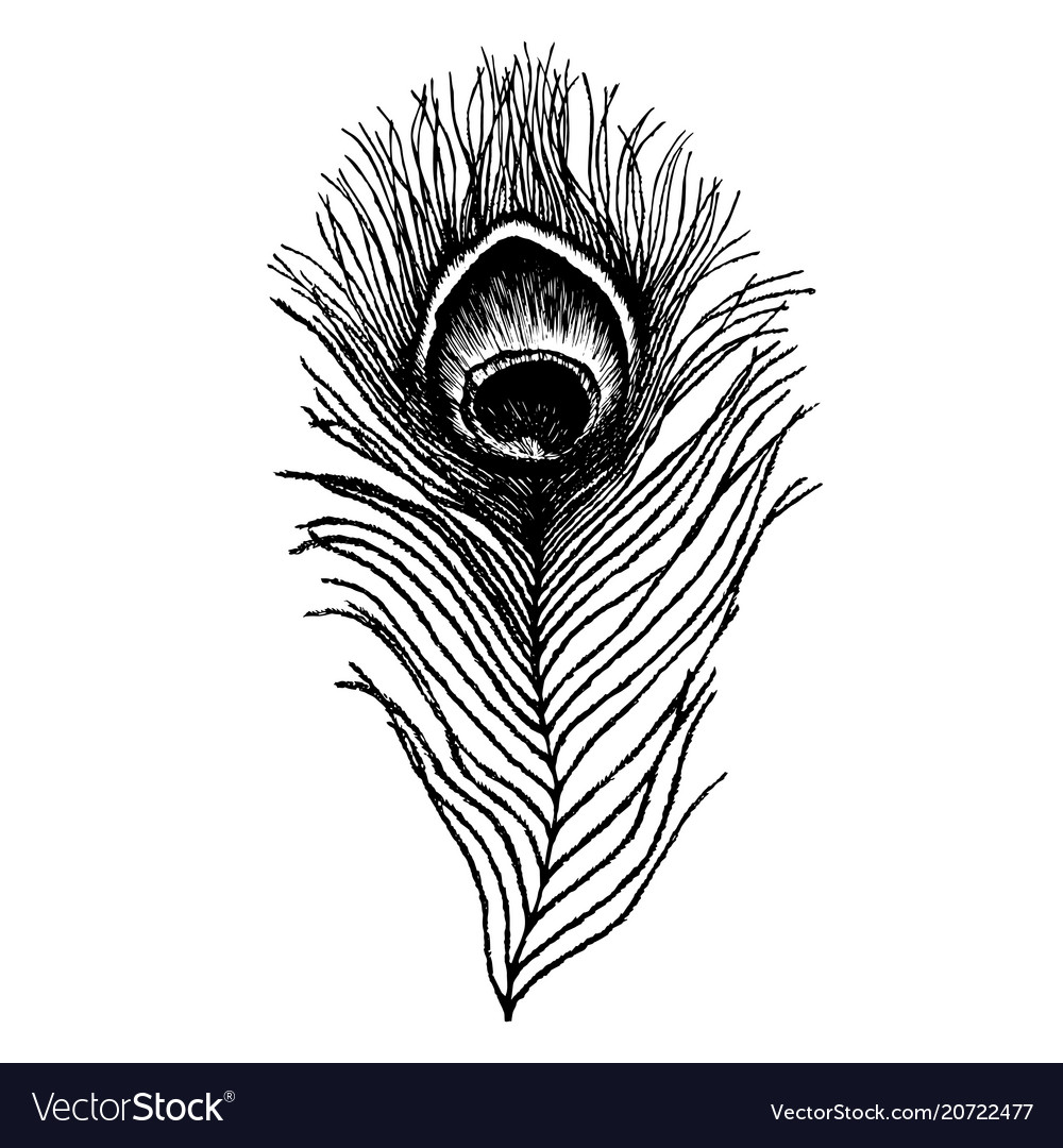 Peacock feather sketch