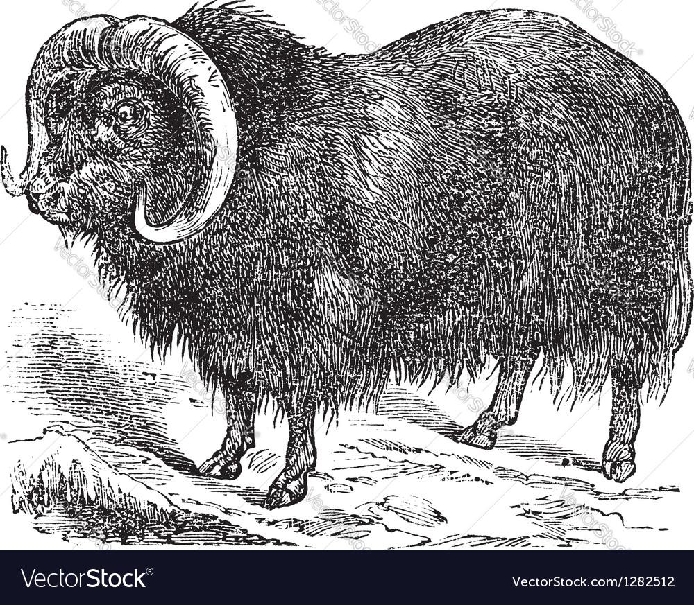 Musk ox vintage engraving
