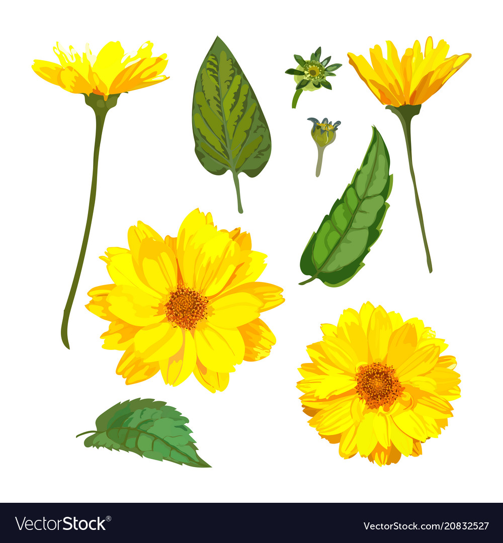 Chrysanthemums Flowers Floral Set With Royalty Free Vector