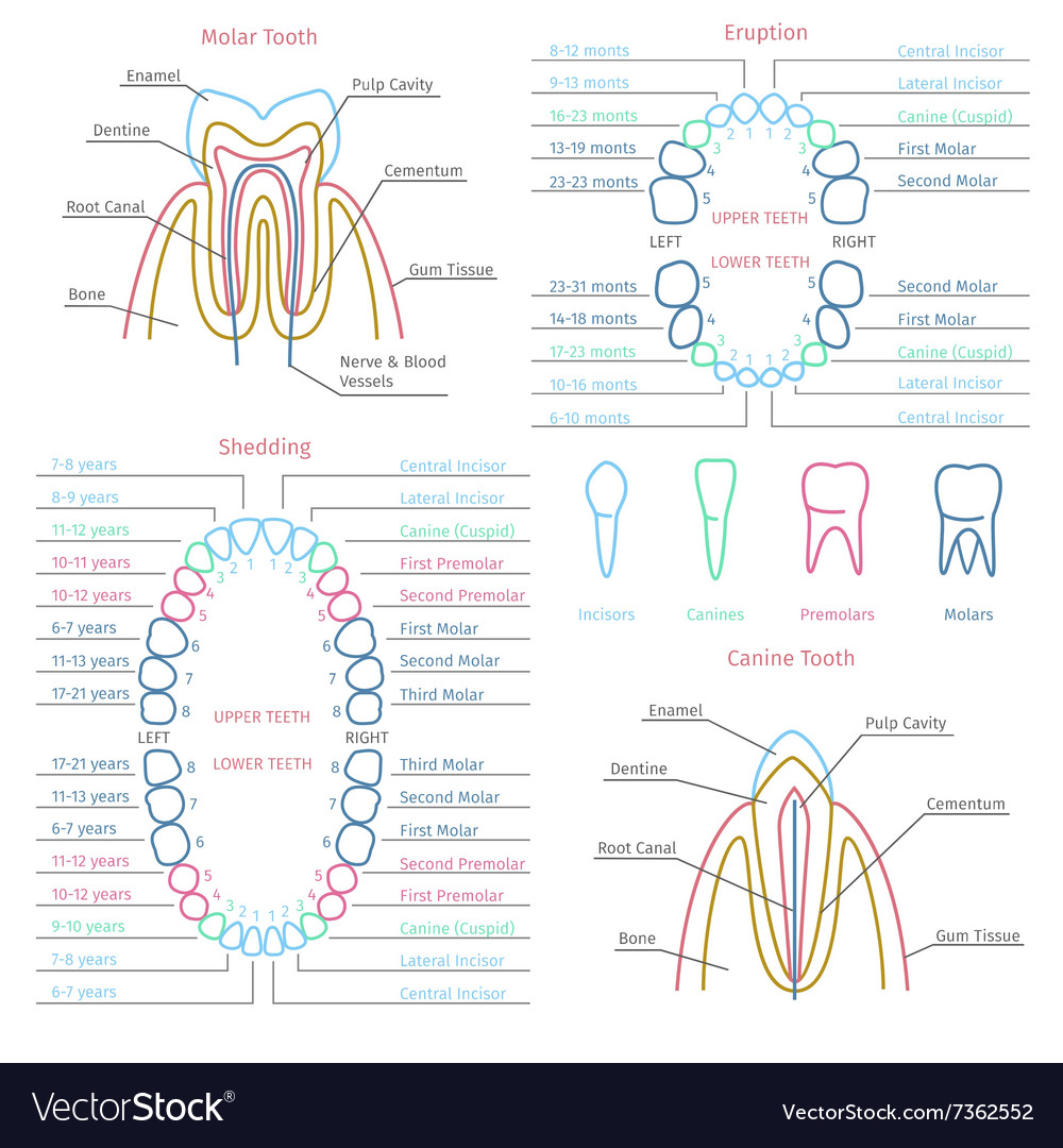 dental anatomy - Vaydile.euforic.co