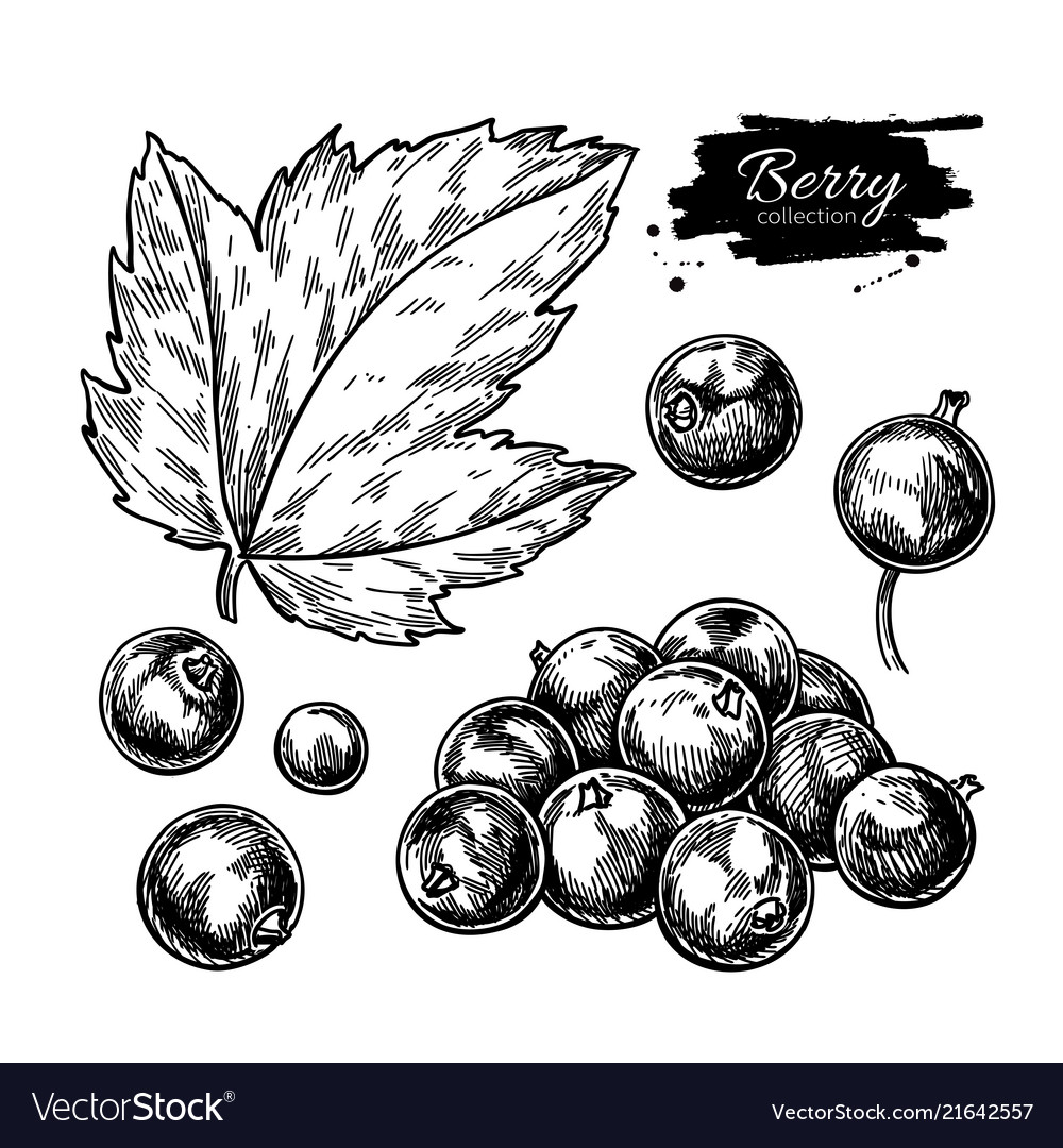 Black currant drawing isolated berry