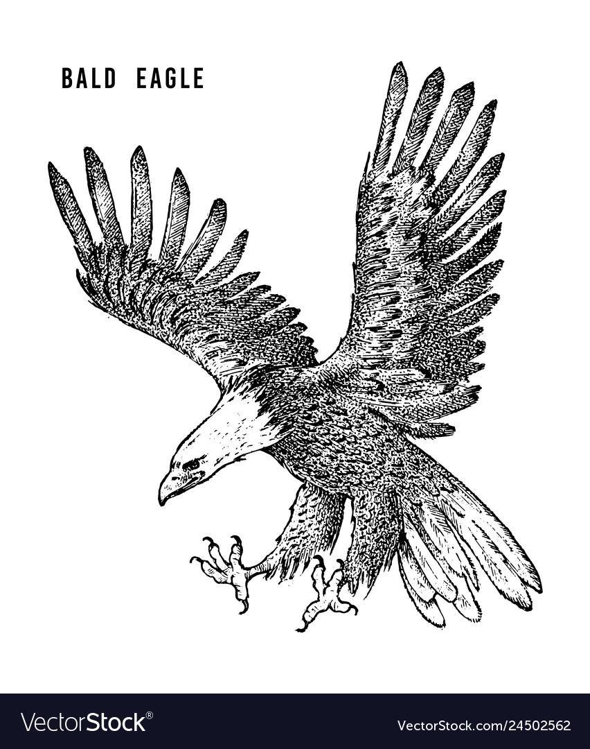 Bald Eagle Wild Forest Bird Of Prey Hand Drawn Vector Image