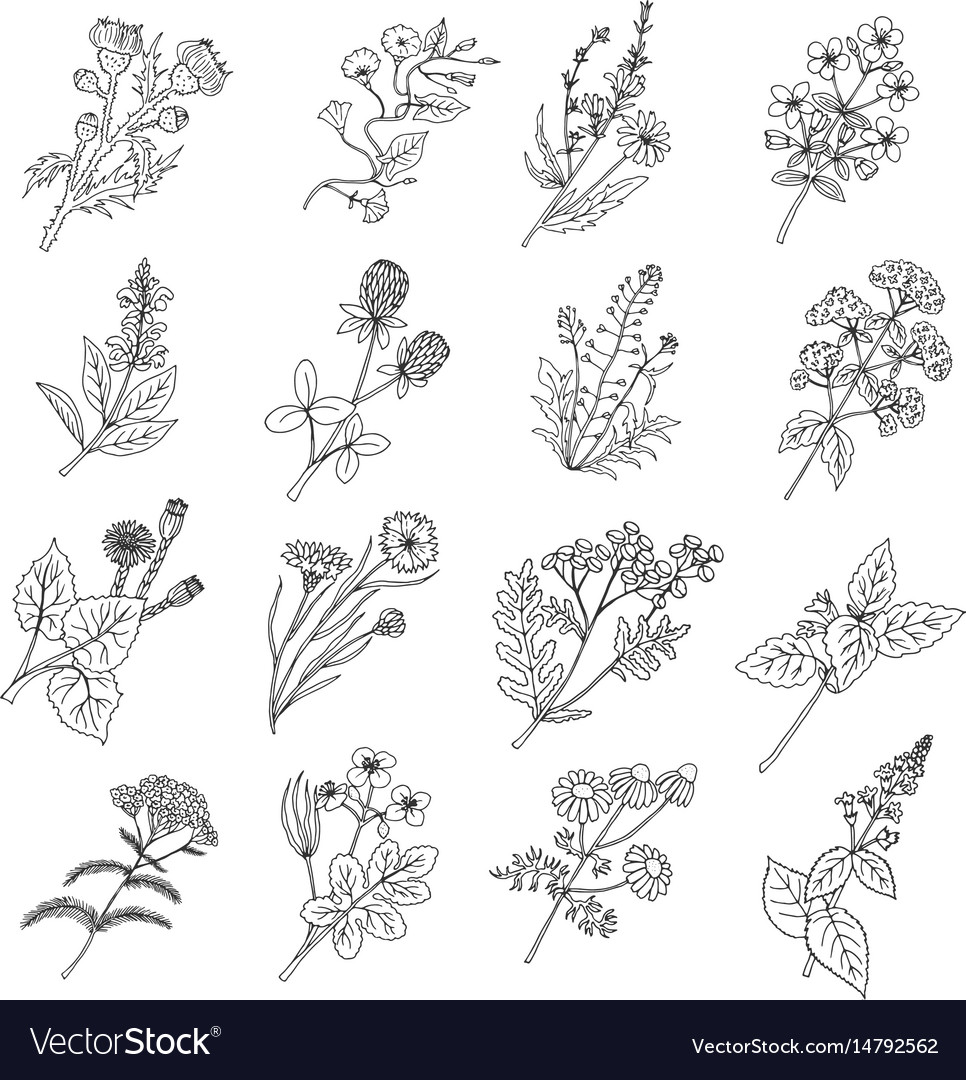 Botanical sketch drawings of vector image