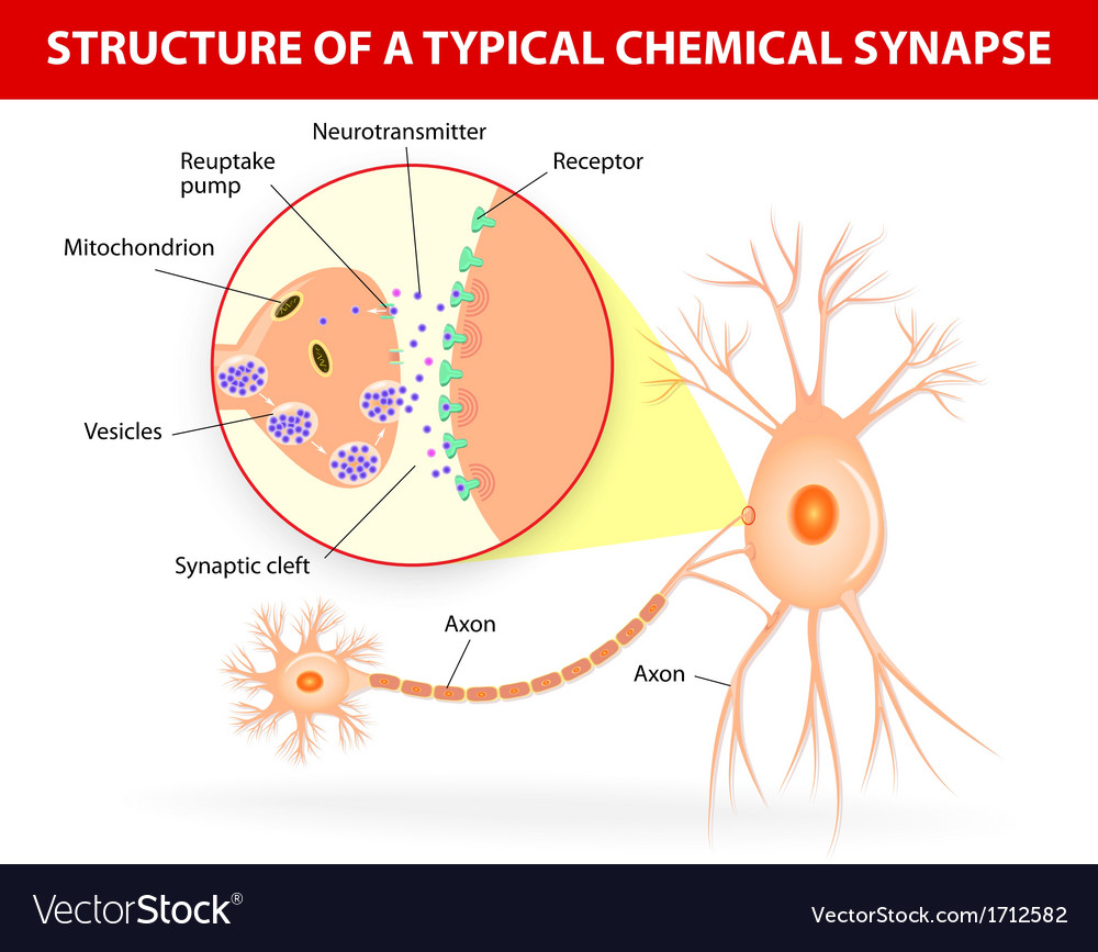 Structure of a typical chemical synapse neurotrans