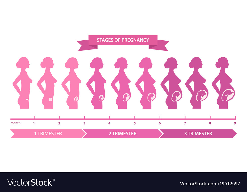 Pregnancy stages line vector image