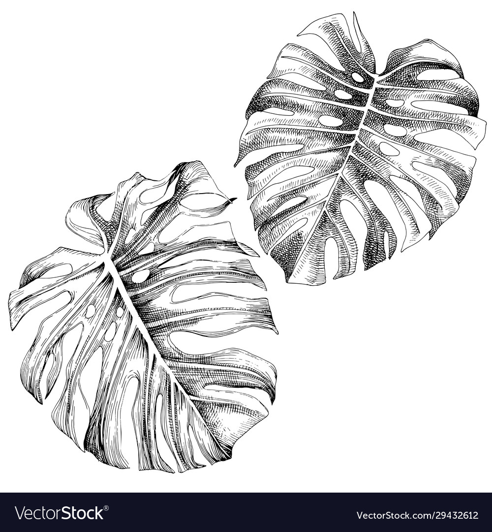 Hand drawn leaves tropical monstera