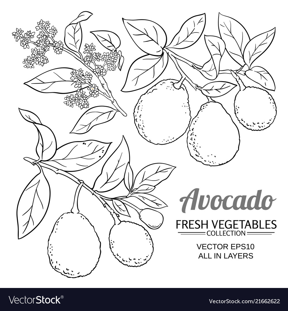 Avocado branches