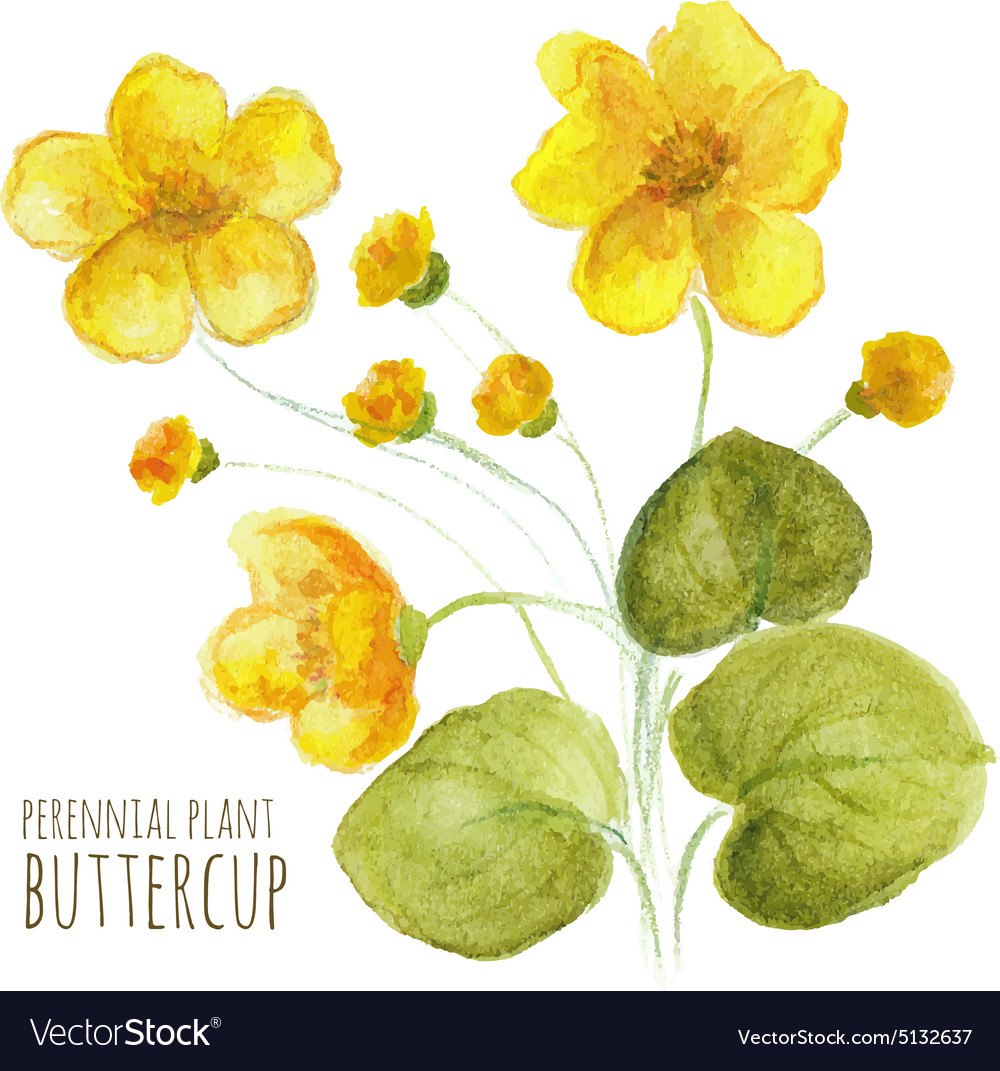 6c63dc38d2aeb Buttercup perennial flower Royalty Free Vector Image