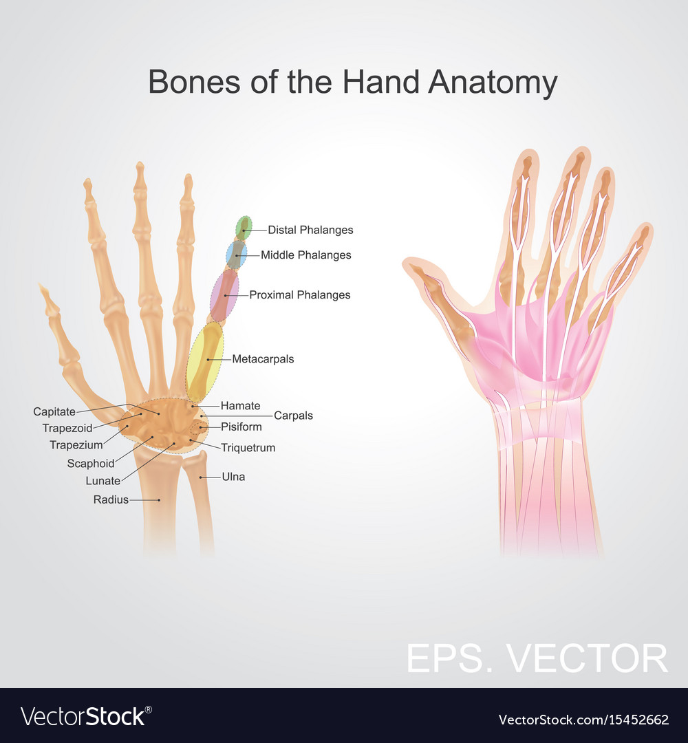 Bone of the hand anatomy Royalty Free Vector Image