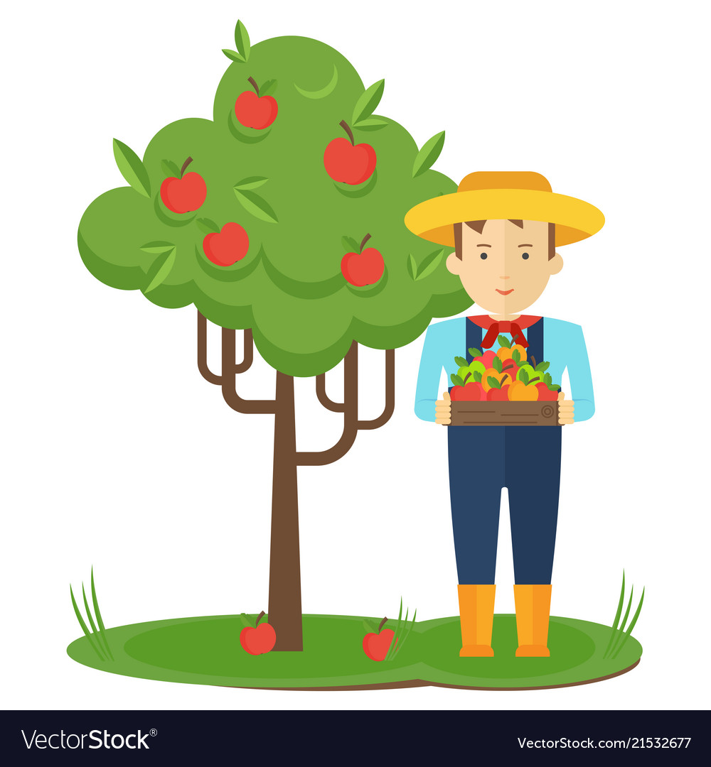 Apple picking farmer man in the garden with boxes