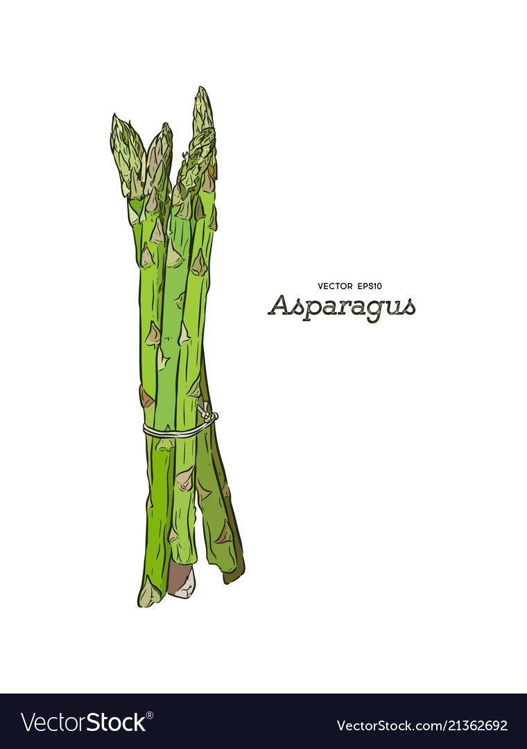 Hand drawn asparagus isolated template for your