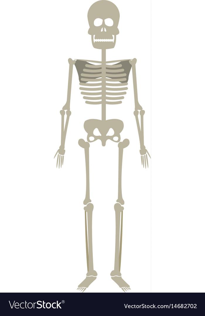 Skeleton Human Anatomy Skull Bone Medical Science Vector Image