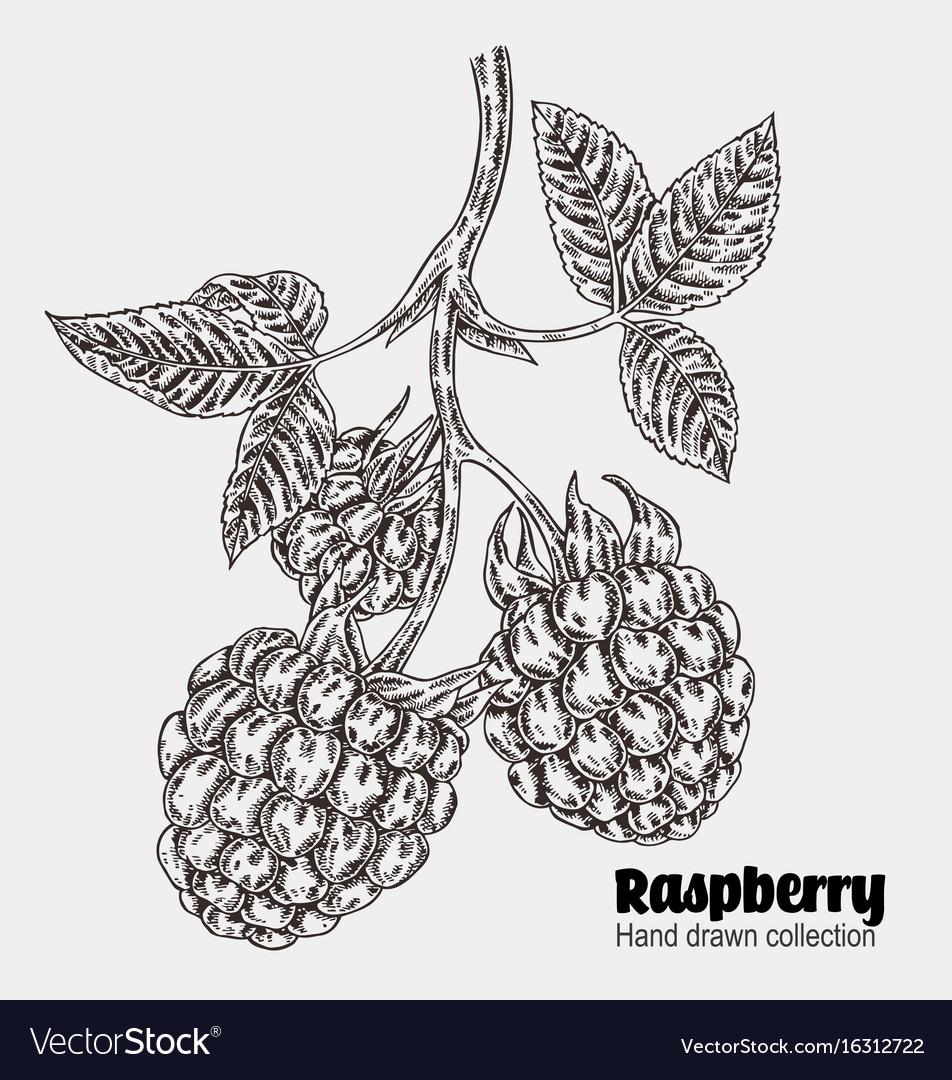 Sketchy raspberry branch hand drawn berries