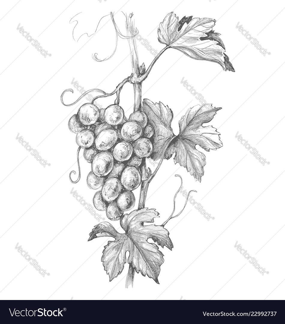 Grape branch pencil drawing