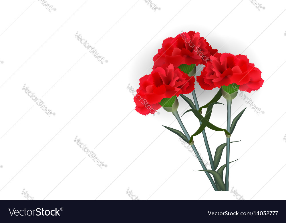 Realistic red flower carnation isolated white