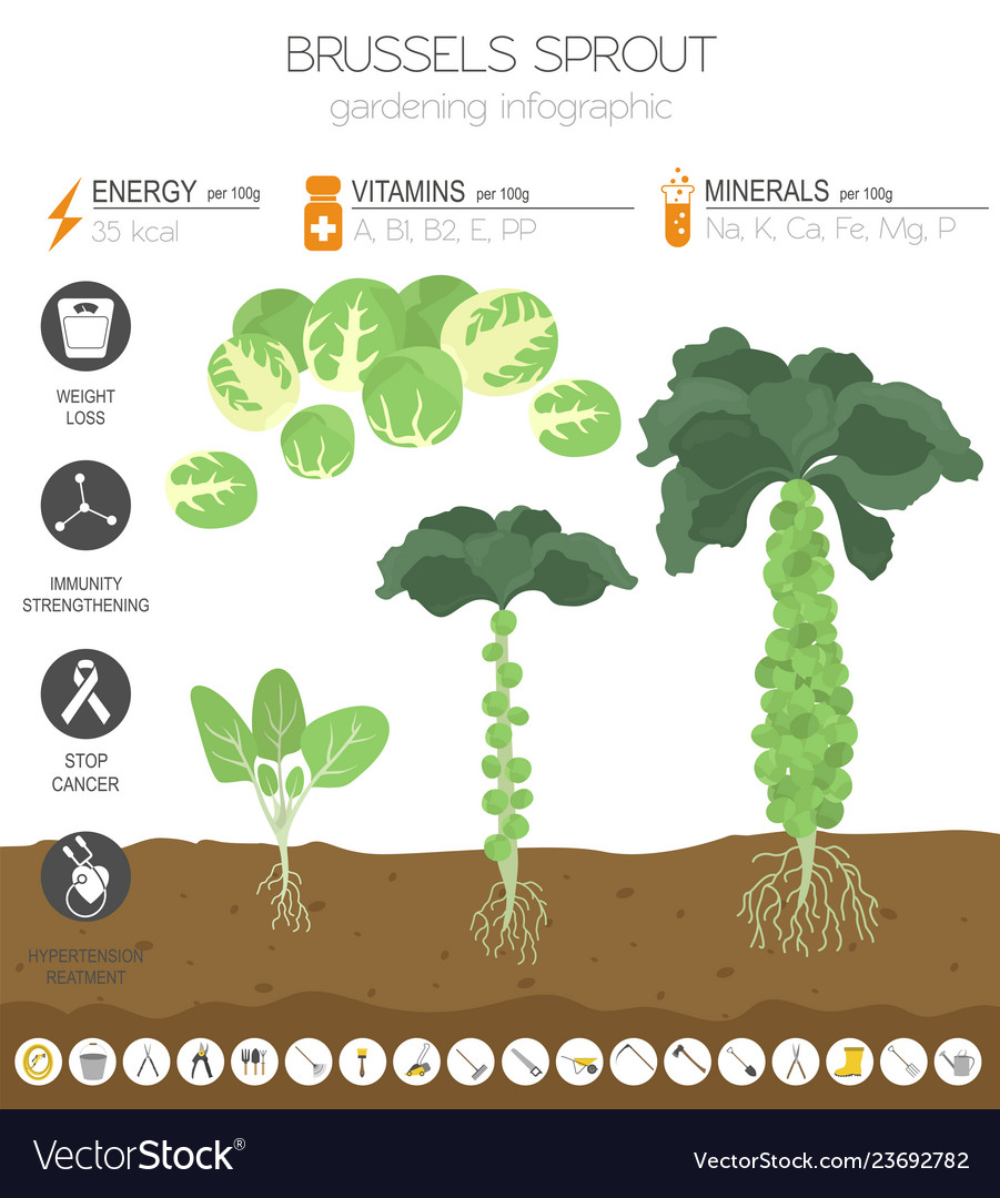 Brussels sprout cabbage beneficial features