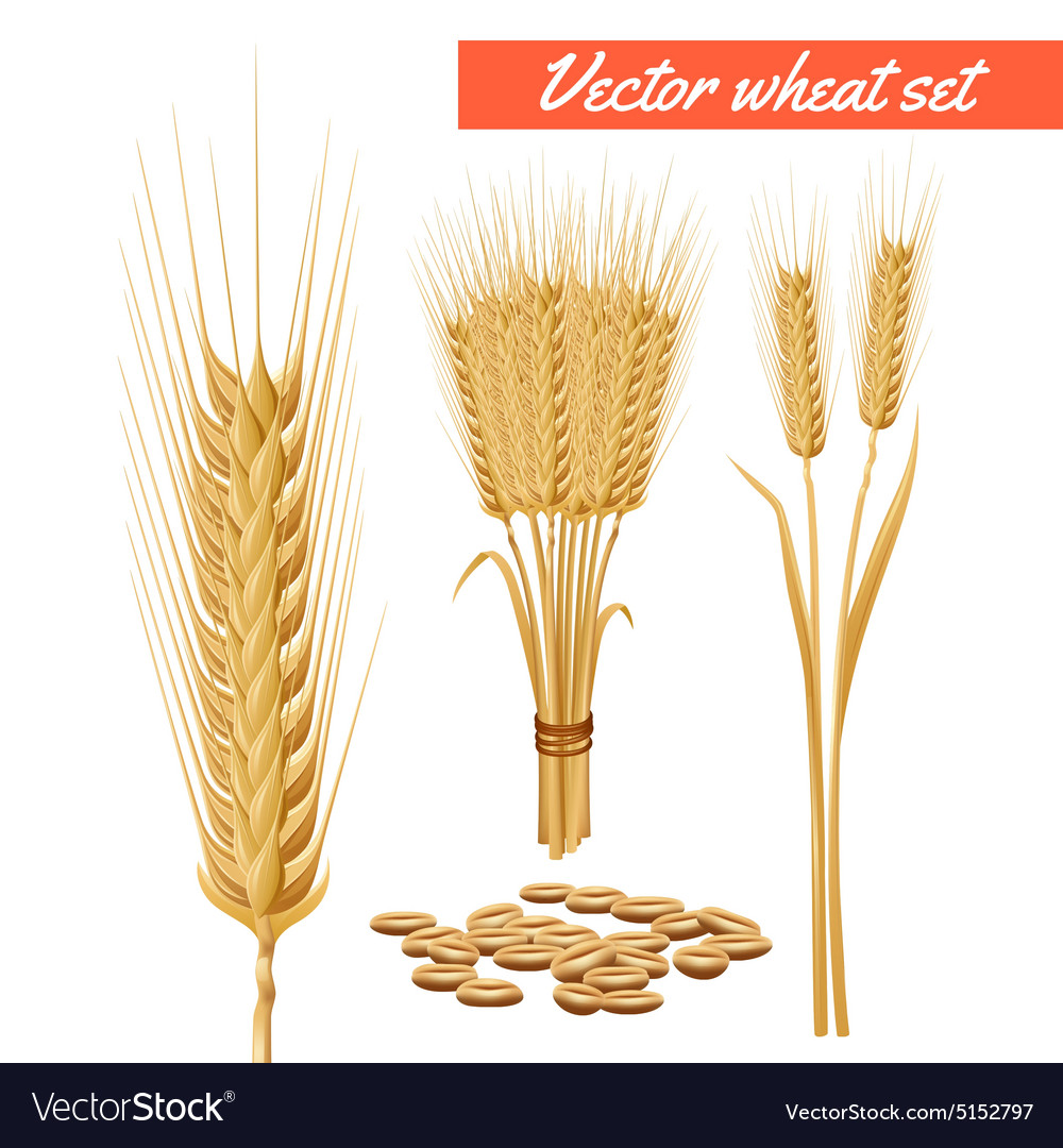 Wheat plant heads and grain poster vector image