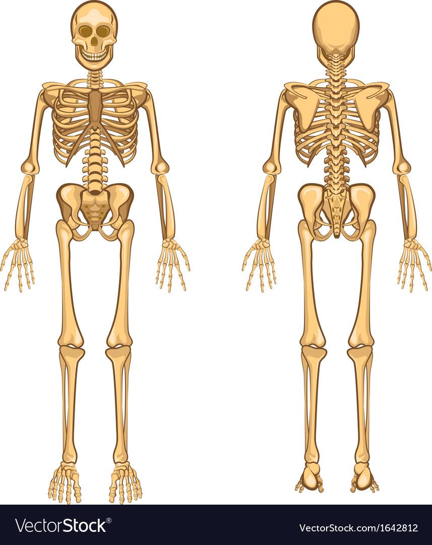 Human Skeleton Royalty Free Vector Image - VectorStock