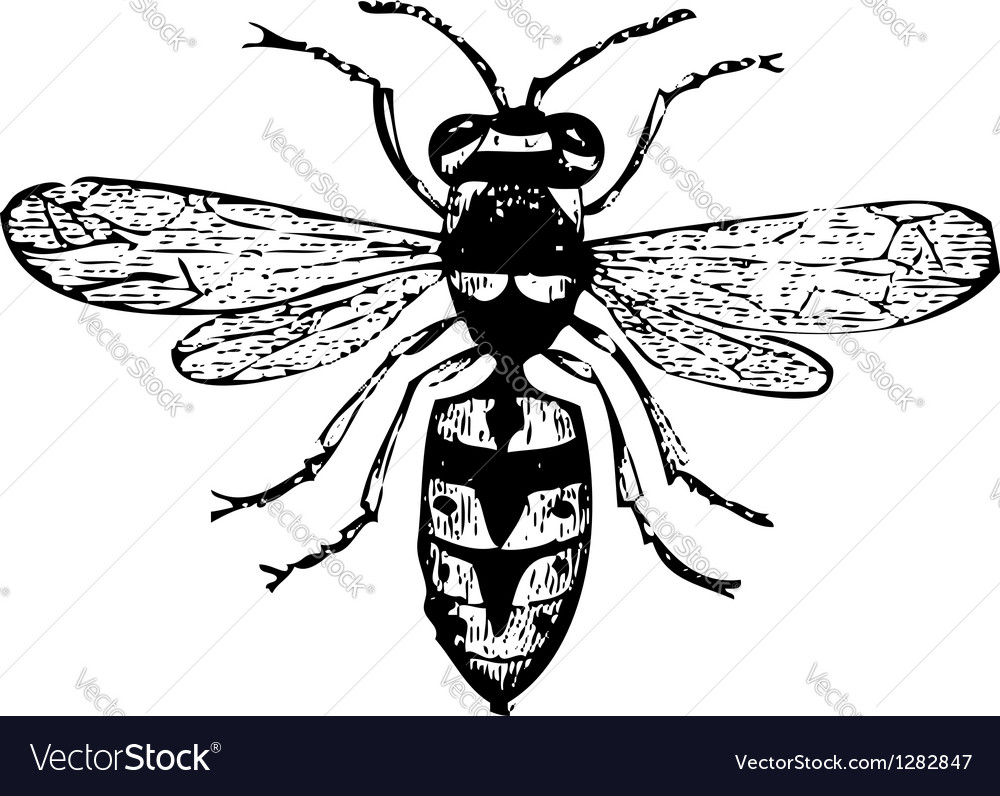 Old wasp engraving