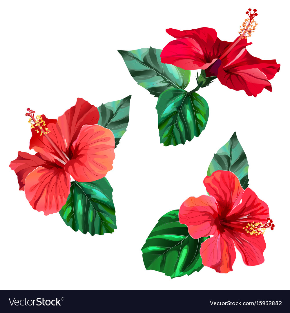 Three beautiful red hibiscus flowers with leaves vector image izmirmasajfo