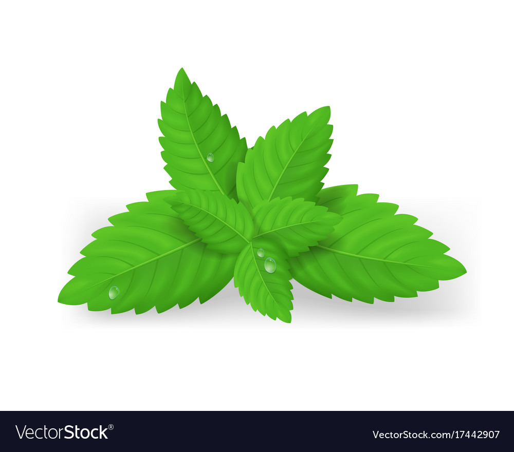39f3e393ef63 Realistic detailed fresh green mint leaves Vector Image