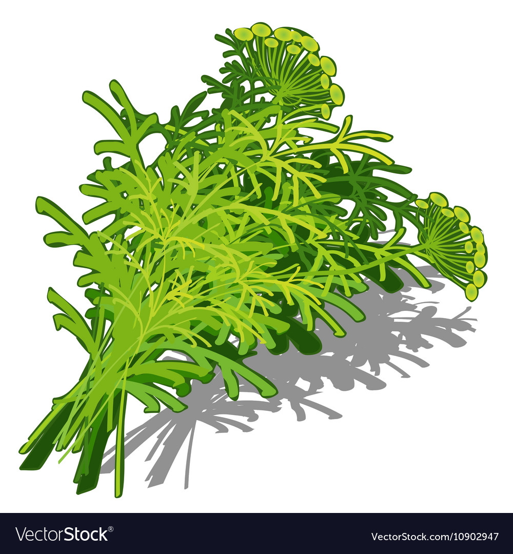Bunch of dill on white background food concept
