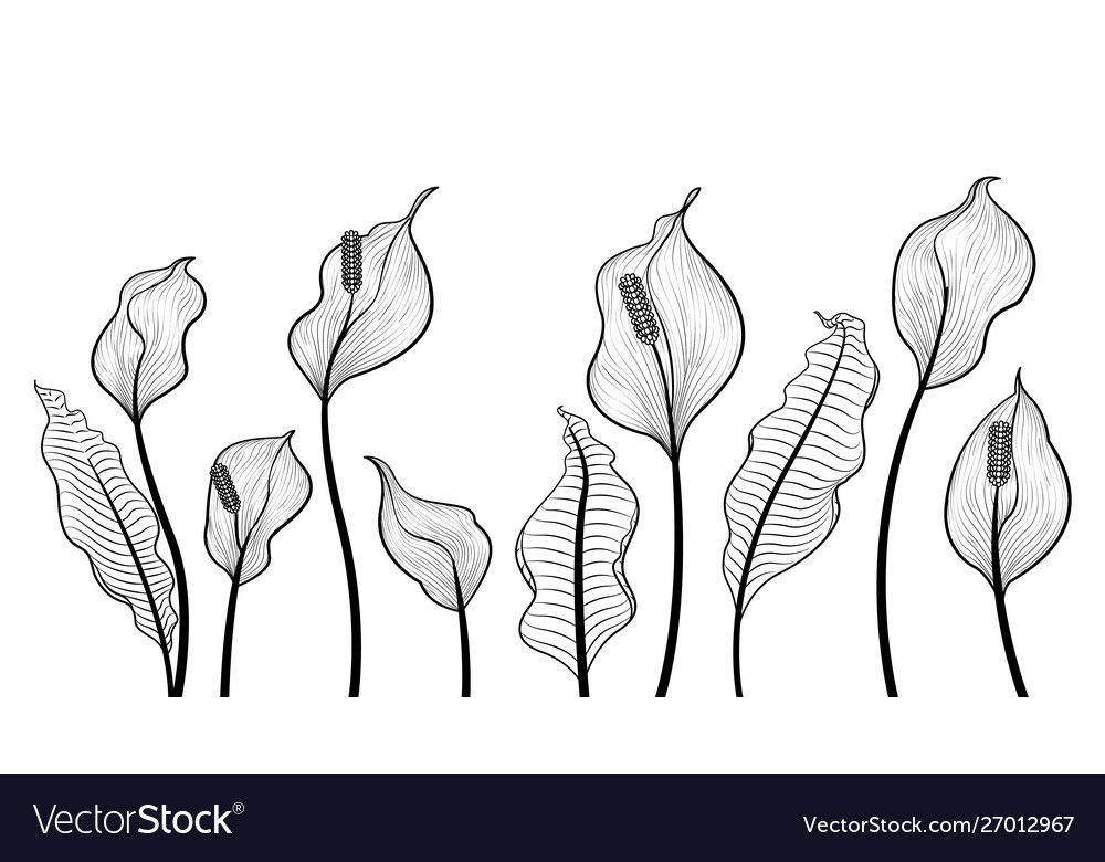 Peace lily flowers hand draw