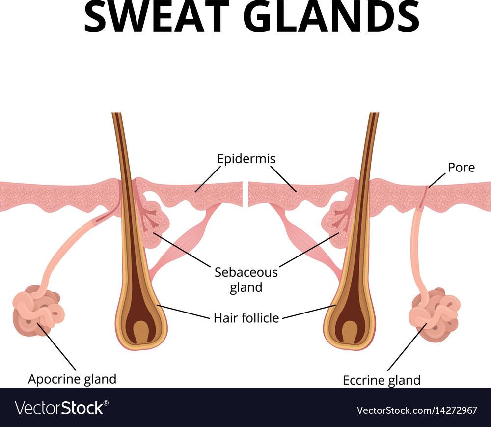 Sebaceous & Glands Vector Images (36)