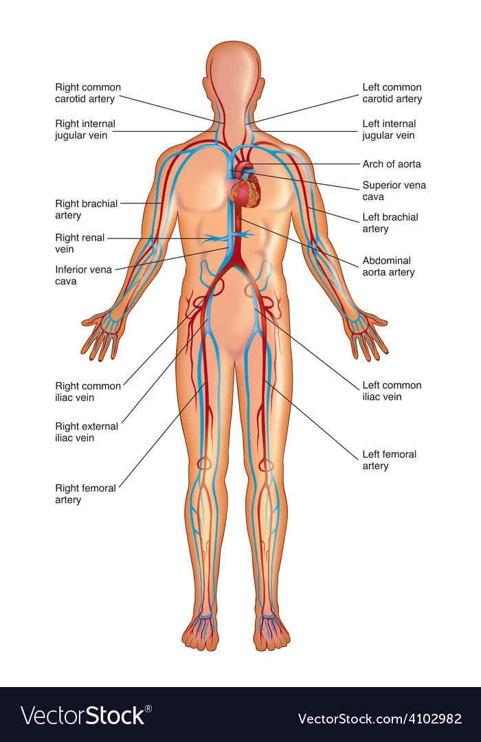 Diagram Of Circulatory System Royalty Free Vector Image