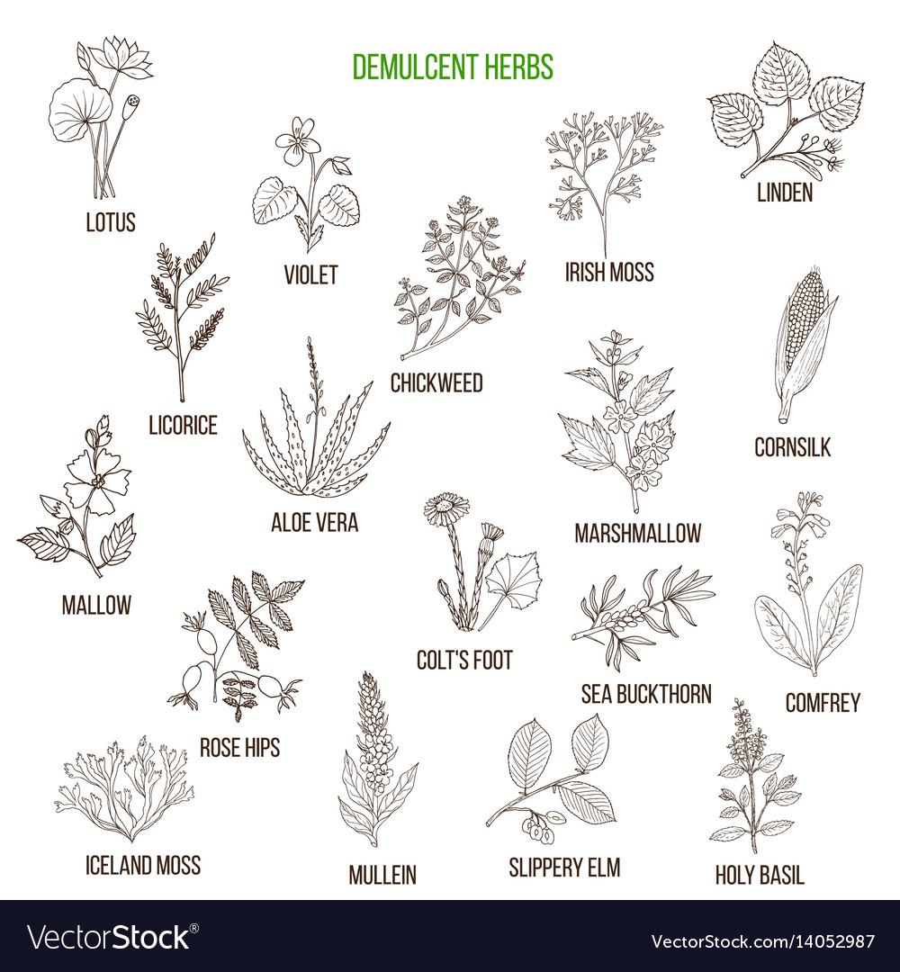 Demulcent herbs hand drawn set vector image