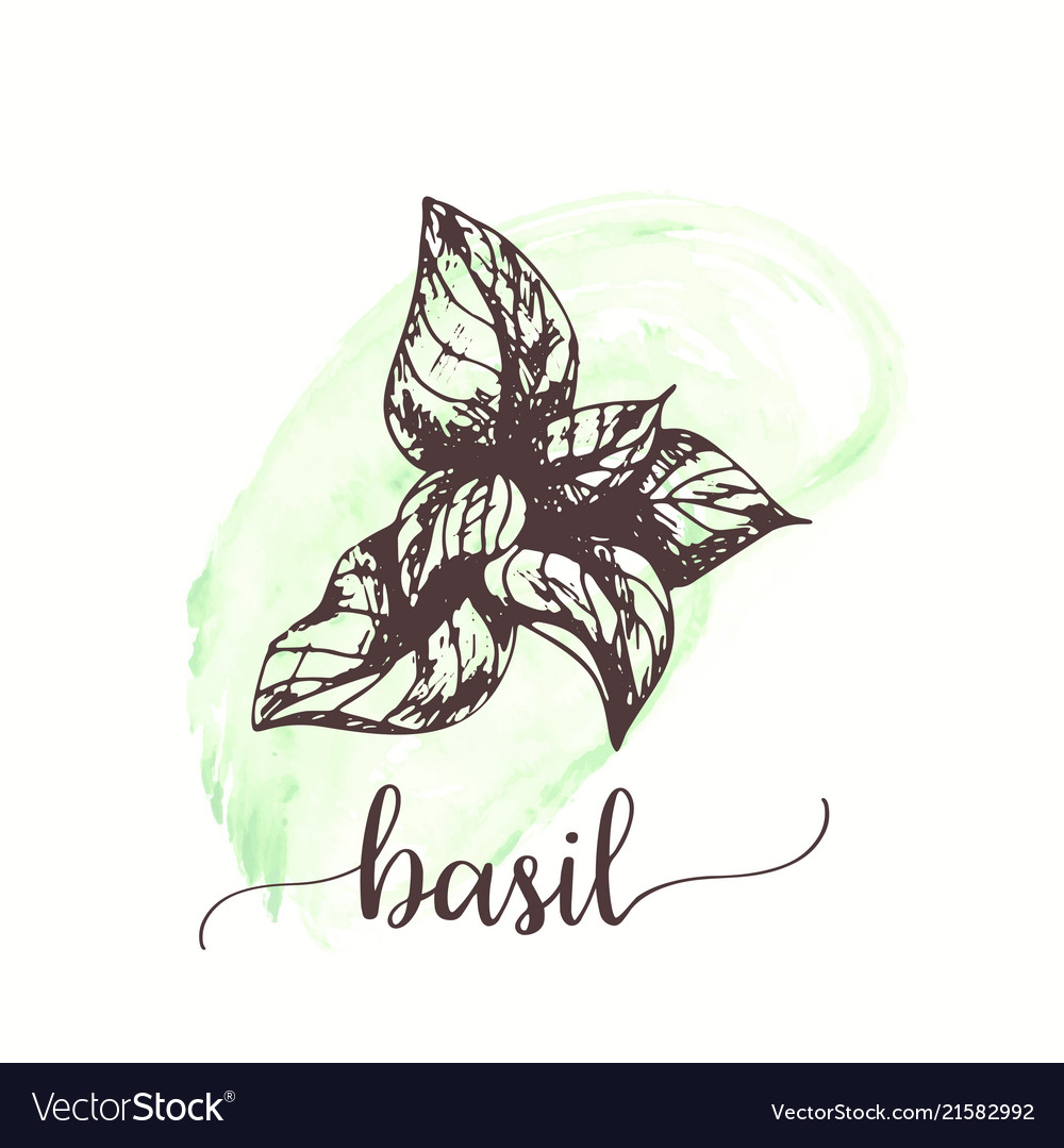 Basil sketch on watercolor paint hand drawn ink
