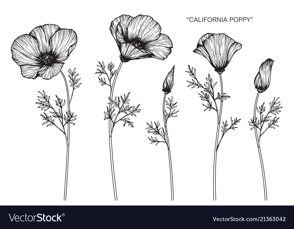 California Poppy Flower Drawing Royalty Free Vector Image