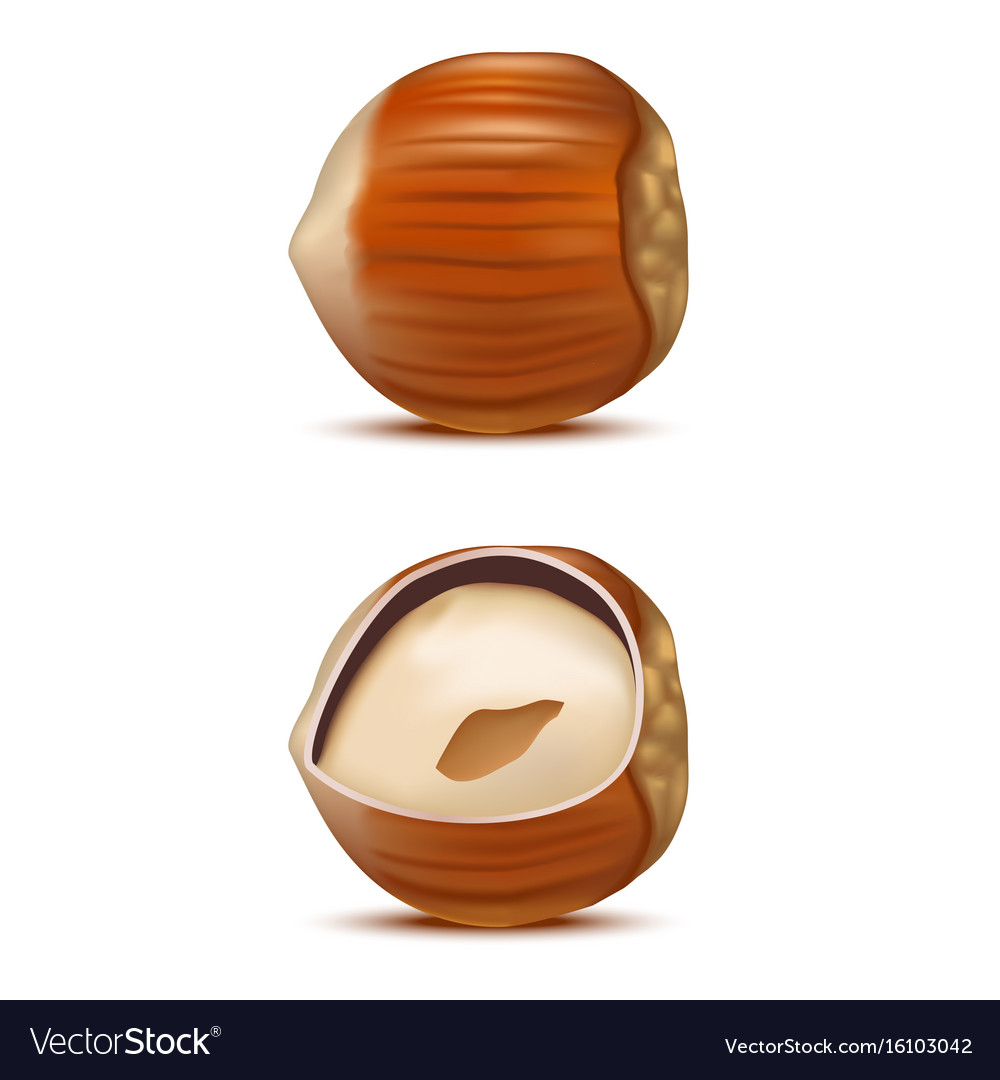 Realistic detailed hazelnut nut